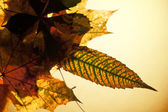 Isolated autumn leaves — Stock Photo
