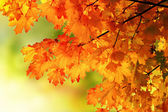 Autumn maple branch background — Stock Photo