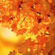 Autumn maple — Stock Photo