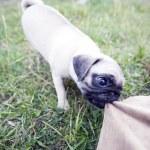 Aggressive puppy — Stock Photo
