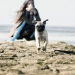 Stock Photo: Mops pug running