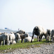 Sheep flock herd on dike — Stock Photo
