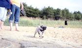 Puppy Walking — Stock Photo