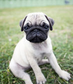 Mops puppy — Stock Photo