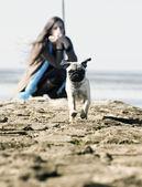 Mops pug running — Stock Photo