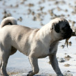 Pug puppy with crab in mouth — Stock Photo #4181707