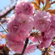 Stock Photo: SakurPink cherry blossoms in Japan
