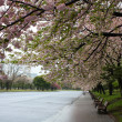 Sakura Cherry blossoms in the Park - Stock Photo