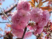 Sakura roze kersenbloesem in japan — Stockfoto