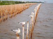 Seagulls hold on bamboo in sea , Thailand — Stock Photo