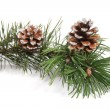Pine tree branch with pinecones - Stock Photo