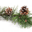 Stock Photo: Pine tree branch with pinecones