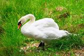 White swan in green grass near the lake — Stock Photo