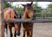 Horses in paddock look into the camera — Stock Photo
