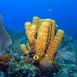 Yellow Tube Sponge - Stock Photo