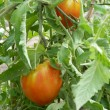 Tomates du jardin — Stock Photo #4246448