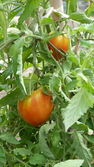 Tomates du jardin — Stock Photo