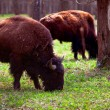 A family of bison in a national park — Stock Photo