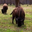 Stock Photo: Family of bison in national park