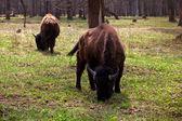 Rodzina żubrów w parku narodowym — Zdjęcie stockowe