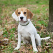 Beagle — Stock Photo #4275808