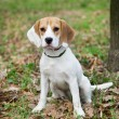 Stock Photo: Beagle