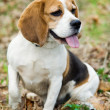 Beagle — Stock Photo #4279397