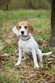 Beagle — Stock Photo