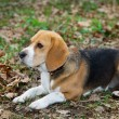 Beagle — Stock Photo #4318637