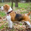 Beagle — Stock Photo #4323827