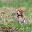 Stock Photo: Beagle puppy