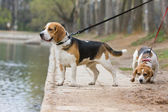 Beagle — Stock Photo