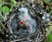 Hungry baby bird — Stock Photo