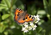 Kleiner Fuchs - Aglias urticae - Nymphalis urticae — Stock Photo