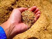 Hand holding rice — Stock Photo