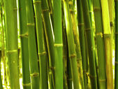 Bamboo Tree — Stockfoto