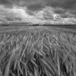 A field of rye — Stock Photo