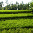 Stock Photo: Rice field