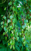 Branches of birch — Stock Photo