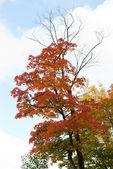 érable automne — Photo
