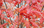 Ashberry maduro — Foto de Stock