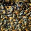 Stock Photo: Queenbee on honeycomb