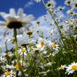 Stock Photo: Daisy and a blue sky
