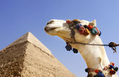 Camel with a Pyramid in background — Stock Photo