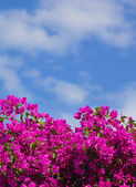 Pink flower bush in Santorini, Greece. — Stock Photo