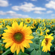 Field with sunflowers — Stock Photo #4228819