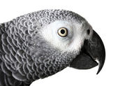 African Grey Parrot isolated on white — Stock Photo