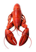 Whole red lobster isolated on white background — Stock Photo