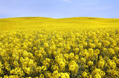 Yellow field with oil seed rape — Stock Photo