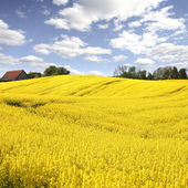 Yellow field with oil seed rape in early spring — Stock Photo